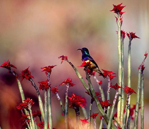 Mgeni Safaris_sunbird Rwanda.jpeg