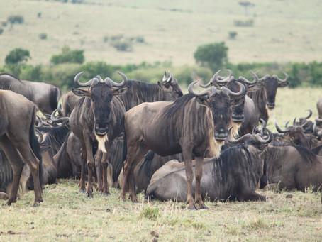 The great migration in Kenia en Tanzania