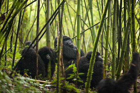 Mgeni Safaris_gorilla tracking Rwanda.jp