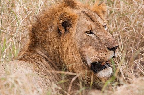 Mgeni Safaris_katachtigen Simba