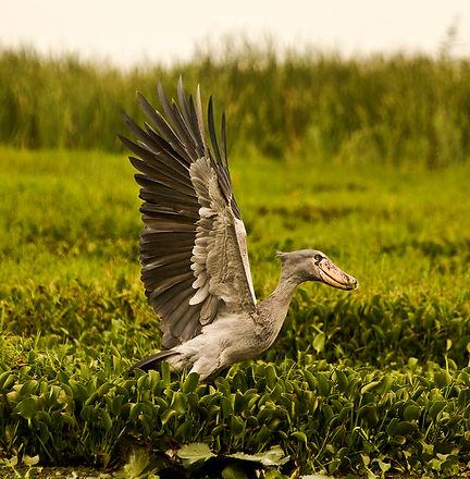Mgeni Safaris_shoebill Semliki TUSC.jpg