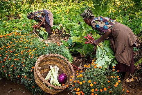Mgeni Safaris_dagelijkse oogst Gibb's Fa
