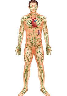 A picture of the lymphatic system within a persons body. The lymphatic system is depicted in green .