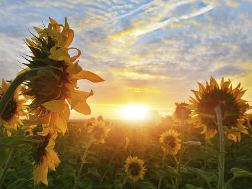 """Un tournesol me dit  """" Fais comme moi, tourne ton bidou vers le soleil, alias ton soleil intérieur"""""""