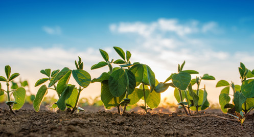 Small-soybean-plants-growing-689541726_7