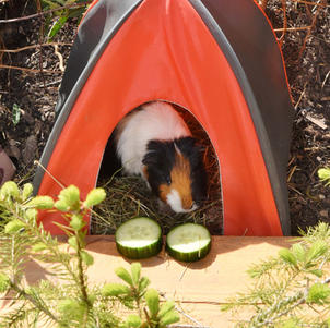 Meerschweinchen Donald beim Zelten