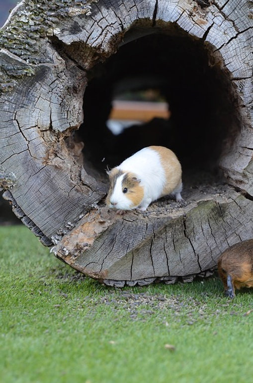 guinea-pig-672854_640.jpg