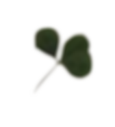 clover leaves.png