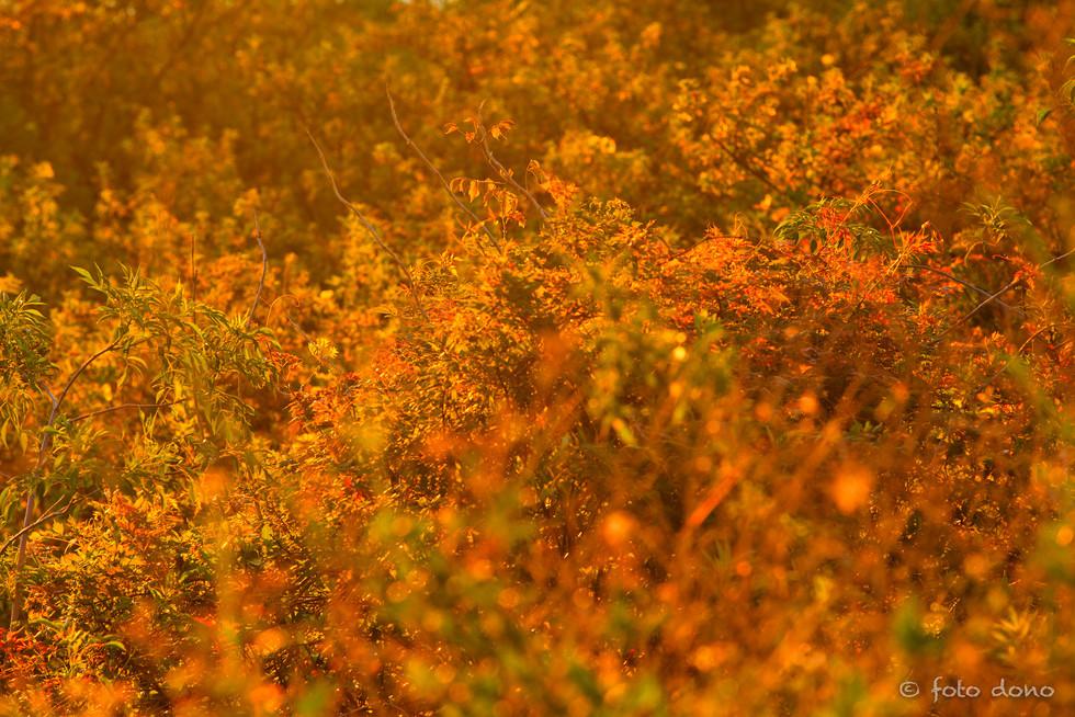 Morning Fire Grass