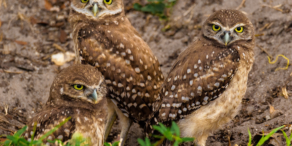 Burrowing Owls of Cape Coral