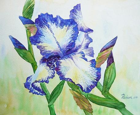 Сине-белый ирис в саду