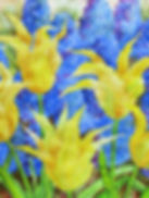 Yellow tulips_1.jpg