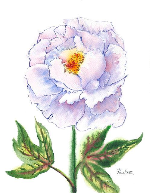 Бело-голубой пион