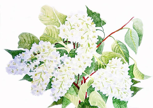 Букет белой черемухи