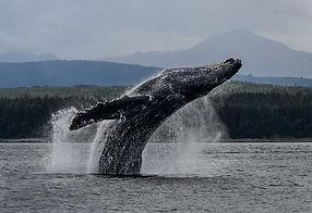 Breachig humpback whale