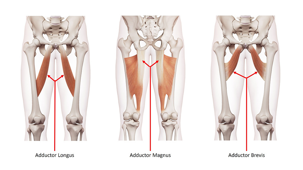 These muscles the adductor longus, magnus and brevis are a group of muscles that are part of the hip adductors.