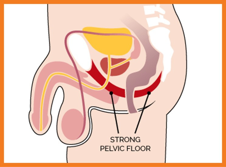Strong male pelvic floor muscles