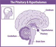 pituitary-hypothalmus.png