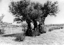 Olivo di Sant'Emiliano - 1956