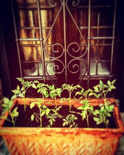 Piccoli pomodoretti crescono, alla Locan