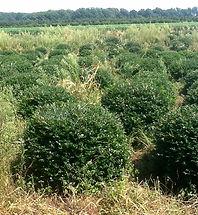 Green Lustre Japanese Holly - crenata Green Lustre