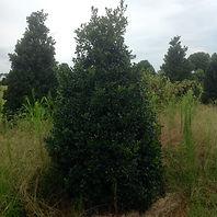 Satin Leaf English Holly - aquifolium Satin Leaf