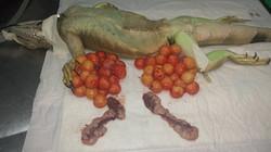 Castração Iguana