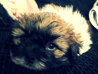 Last week with us for Shih Tzu puppies
