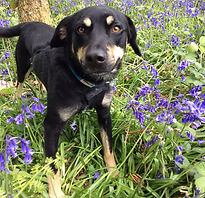 Rufus in the bluebells.jpeg