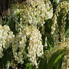 Pieris japonica white.jpg