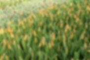 greenhouse tulips