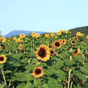 Sunflowers&Mary's Peak.jpg