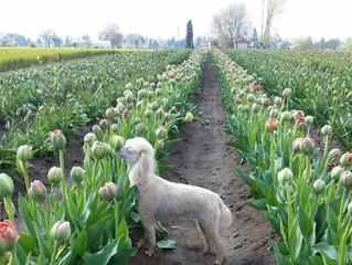 Tulip season is open!