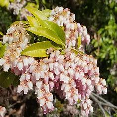Pieris japonica pink.jpg