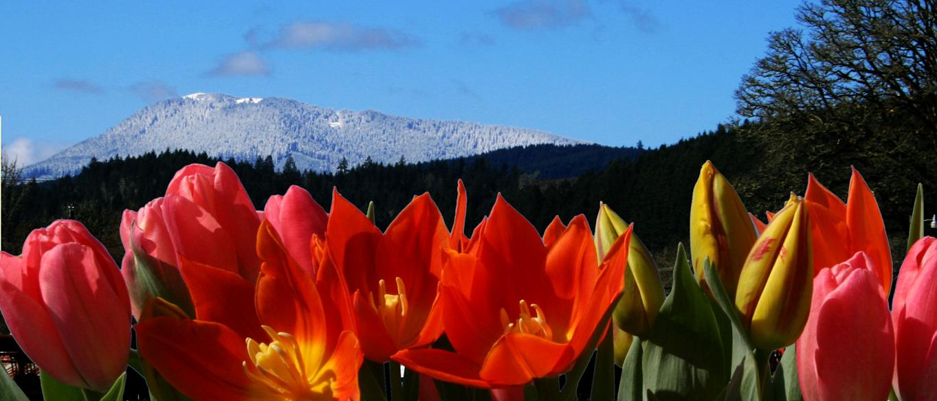 snowy Mary's Peak and tulips