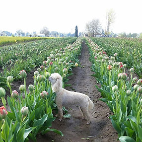 Lucy smelling the tulips