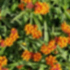 Asclepias orange