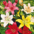 Asiatic lilies.png