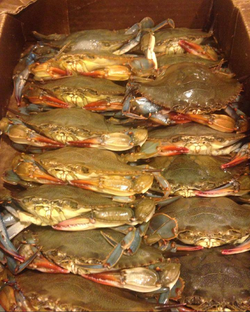 Fresh Softshells