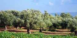 Esti оливковое масло и оливки