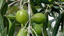 Оливковая Греция