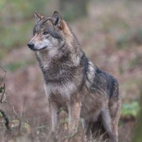 Le loup en Wallonie