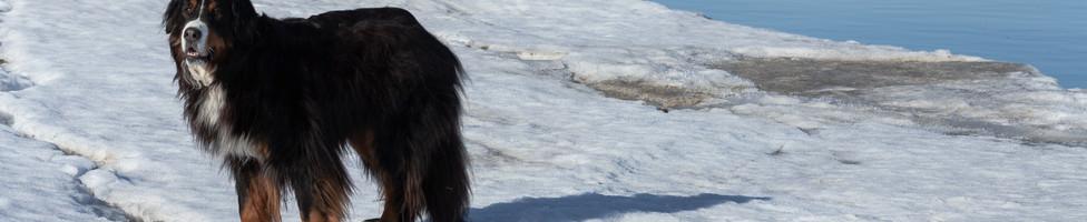 Hugo parmi les oies de neiges