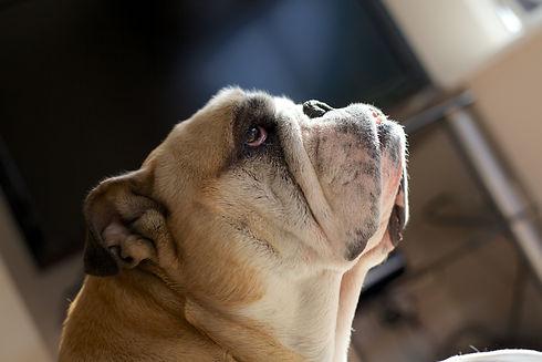 Bulldog Family - Colour 66.jpg