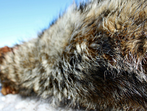 Lessons Learned Coyote Hunting