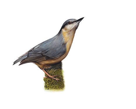 'Nuthatch' Limited Edition Print