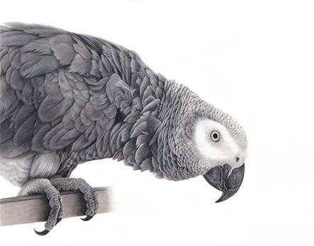 Sam - African Grey Parrot