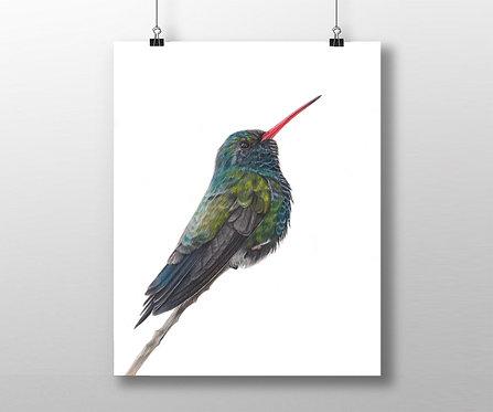 Broad Tailed Hummingbird  Print