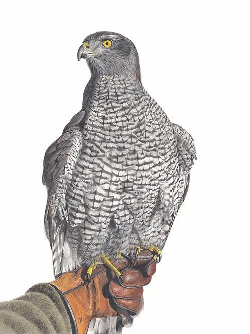 Goshawk Original Drawing