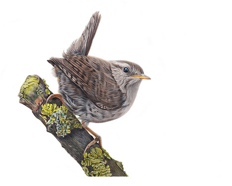 'Wren' Limited Edition Print